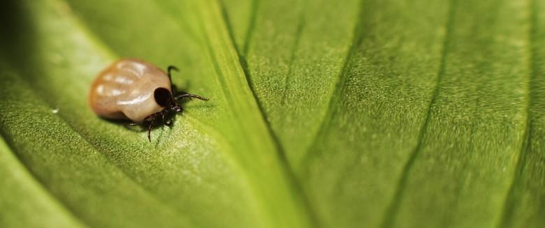 Une nouvelle méthode pour mieux diagnostiquer la maladie de Lyme