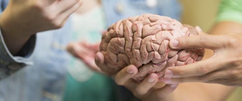 Un cerveau en miniature pour aider la recherche médicale