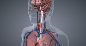 Animation 3D : le corps humain comme vous ne l'avez jamais vu