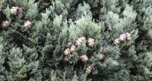 cyprès-plante