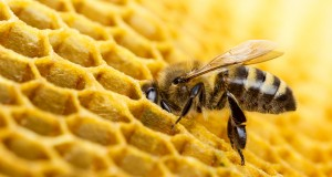 La propolis, un antibiotique naturel