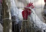 4 choses à savoir sur l'influenza aviaire