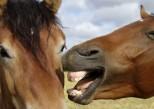 Chevaux et humains partagent les mêmes expressions faciales